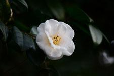 白いツバキの花の画像011