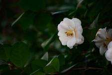 白いツバキの花の画像012