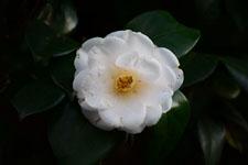 白いツバキの花の画像013