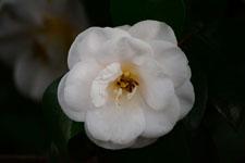 白いツバキの花の画像014