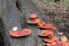 木から生えるきのこの画像001