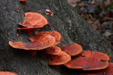 木から生えるきのこの画像002