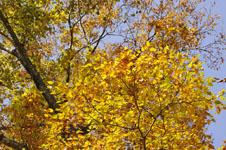 大山の紅葉の画像017