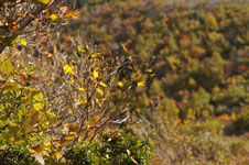 大山の紅葉の画像023