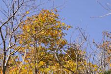 大山の紅葉の画像024