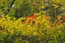 大山の紅葉の画像026