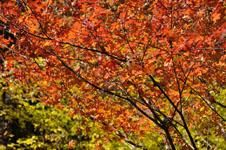 大山の紅葉の画像027