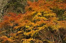 大山の紅葉の画像028