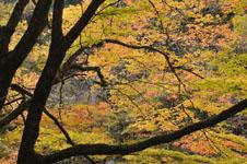 大山の紅葉の画像031