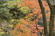 大山の紅葉の画像032