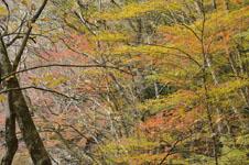 大山の紅葉の画像034