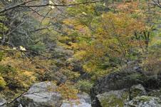 大山の紅葉の画像039