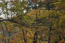 大山の紅葉の画像042