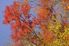 大山の紅葉の画像044