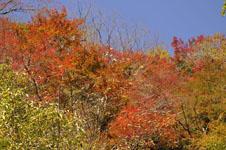 大山の紅葉の画像047