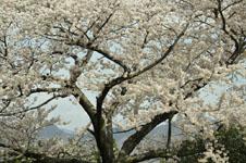 岩城島の桜の画像001