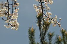 岩城島の桜の画像002