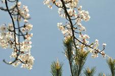 岩城島の桜の画像003