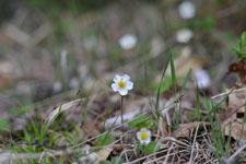 八ヶ岳のヘビイチゴの花
