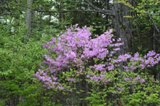 八ヶ岳のツツジの花の画像001