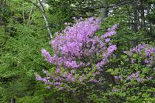 八ヶ岳のツツジの花の画像002