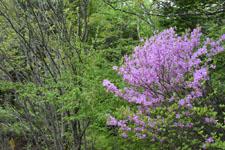 八ヶ岳のツツジの花の画像003