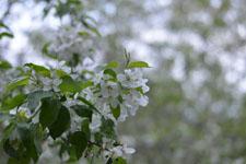 八ヶ岳のヤマナシの花の画像001