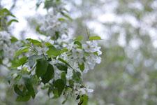 八ヶ岳のヤマナシの花の画像002