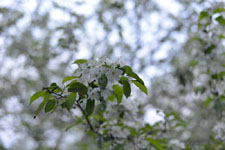 八ヶ岳のヤマナシの花の画像003