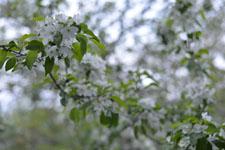 八ヶ岳のヤマナシの花の画像004