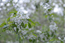 八ヶ岳のヤマナシの花の画像005