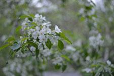八ヶ岳のヤマナシの花の画像006