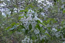 八ヶ岳のヤマナシの花の画像007