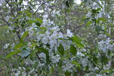 八ヶ岳のヤマナシの花の画像008