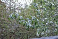 八ヶ岳のヤマナシの花の画像010