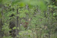 八ヶ岳の鹿の画像001