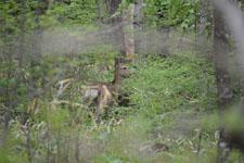 八ヶ岳の鹿の画像002