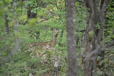 八ヶ岳の鹿の画像003