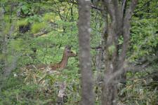 八ヶ岳の鹿の画像004