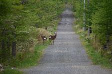 八ヶ岳の鹿の画像005