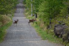 八ヶ岳の鹿の画像006