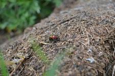 八ヶ岳のオオセンチコガネの画像001