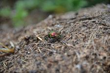 八ヶ岳のオオセンチコガネの画像002