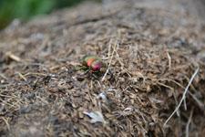 八ヶ岳のオオセンチコガネの画像003