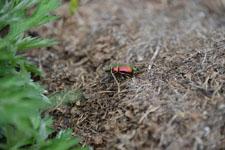 八ヶ岳のオオセンチコガネの画像004