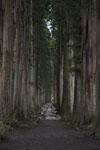 杉の大木の画像002