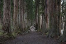 杉の大木の画像003