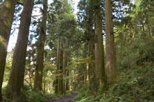 旧東海道の箱根杉並木の画像001