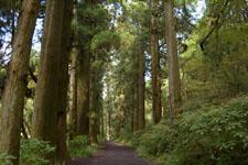 旧東海道の箱根杉並木の画像002