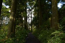 旧東海道の箱根杉並木の画像006